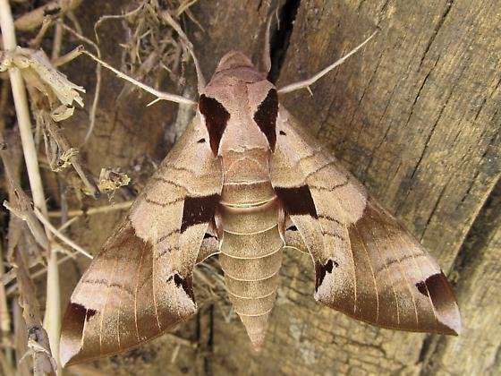 Just Emerged. - Eumorpha achemon - female