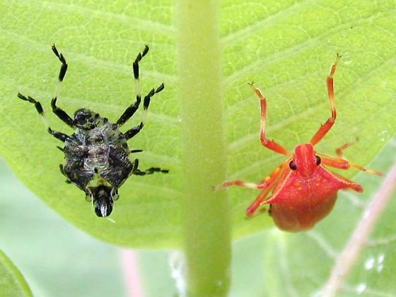 pentatomid - Picromerus bidens