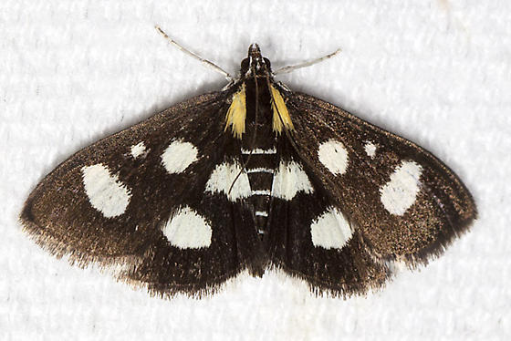 White-spotted Sable - Hodges#4958a - Anania funebris