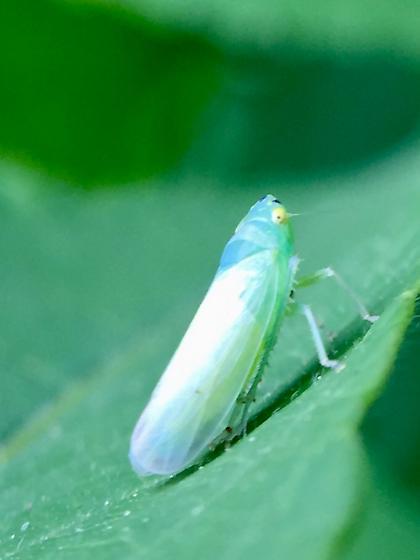 hopper - Pagaronia minor
