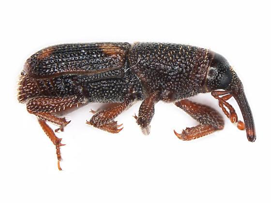 Sitophilus zeamais - male