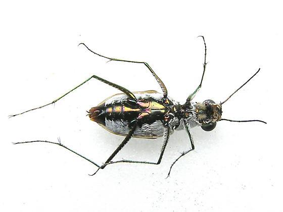 Southern White Beach Tiger Beetle -C. dorsalis media - Habroscelimorpha dorsalis