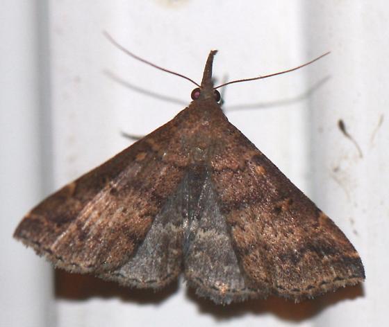 Renia factiosalis - female