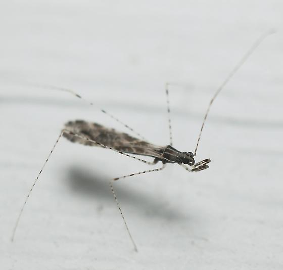 Thread-legged Bug - Empicoris orthoneuron