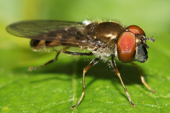 Unknown Diptera - Platycheirus obscurus - male
