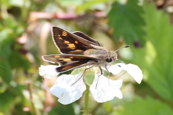 Texas Skipper - Hylephila phyleus - female