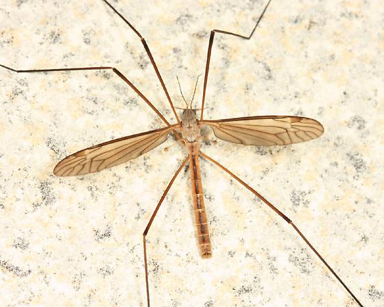 Crane Fly - Tipula paterifera - male