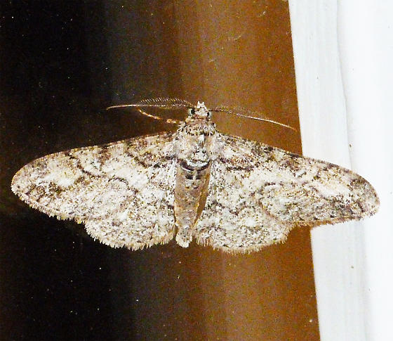 Double-Lined Gray ? - Cleora sublunaria