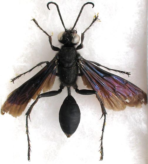Yellow tarsal appendages, ID? - Sphex pensylvanicus - male