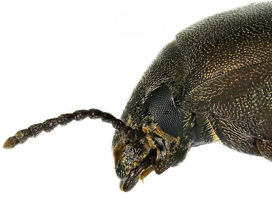 Male, Lobometopon ovale - Lobometopon ovale - male