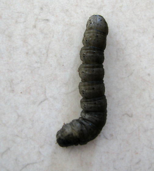 Striped Cutworm- First PA Datapoint - Euxoa tessellata