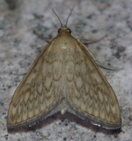 Dimorphic Sitochroa Moth - Hodges#4987 - Sitochroa chortalis