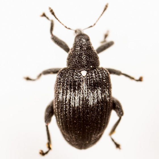 Weevil - Tachyerges niger