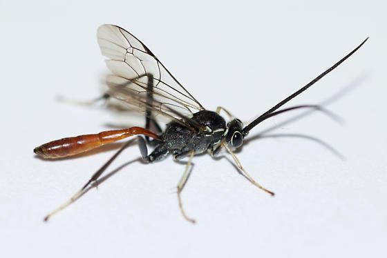 Ichneumonid  - Cryptus albitarsis