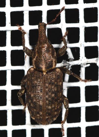 Hylobius pales - Pales Weevil - Hylobius pales