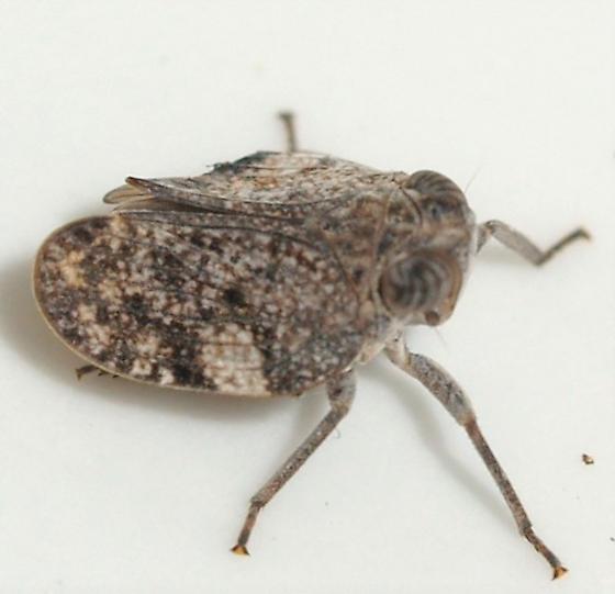 hopper - Picumna chinai