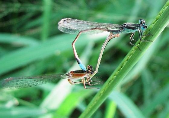 Mating Damselflies   TX mini-gathering - Ischnura ramburii - male - female