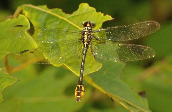 Dragonfly - Stylurus laurae