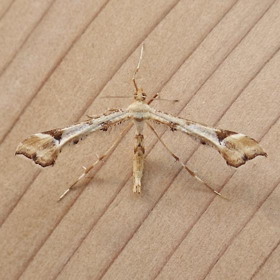 Pterophoridae: Platyptilia carduidactylus? - Platyptilia