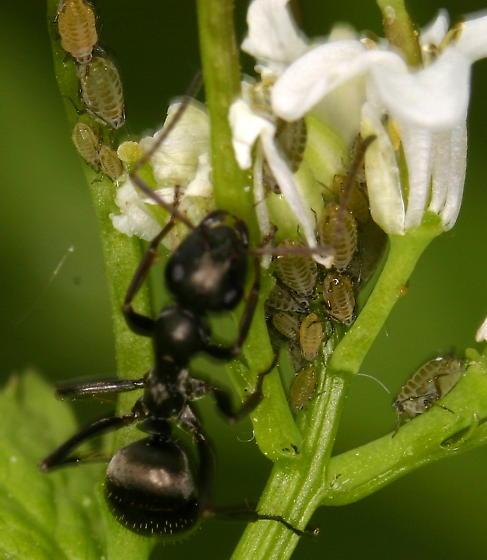 Ant Tending Aphids - Lipaphis pseudobrassicae