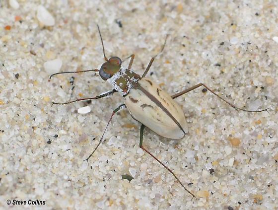 Cicindela dorsalis dorsalis - Habroscelimorpha dorsalis