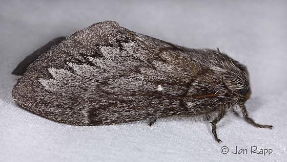 Gloveria arizonensis