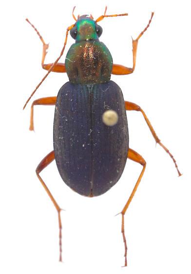 Chlaenius tricolor - female