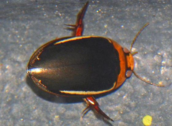 ? - Prodaticus bimarginatus