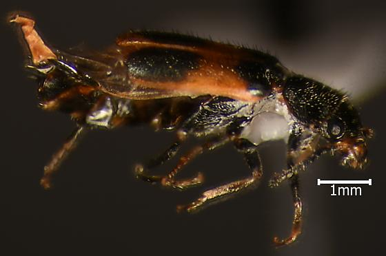 Staphylinid - Collops