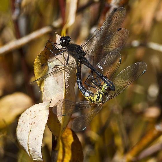 Black Meadowhawk, Sympetrum danae; request confirmation - Sympetrum danae - male - female