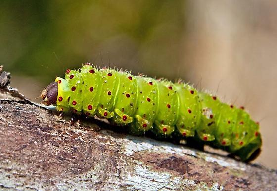 Green Caterpillar with red dots - Actias luna
