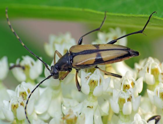 Longhorn beetle - Etorofus subhamatus - female