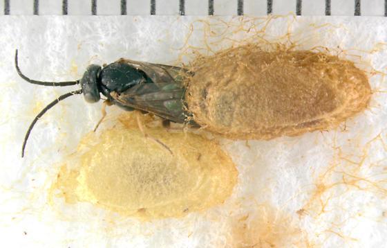 Columbine Sawfly - Pristiphora rufipes