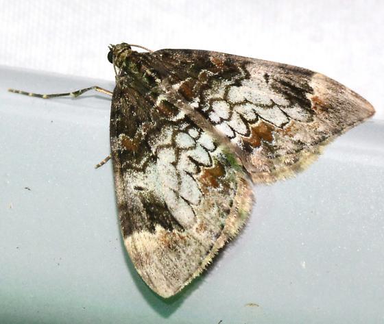Marbled Carpet, 7187 - Dysstroma truncata