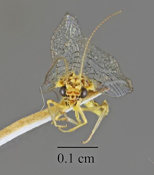 Chrysopidae sp - Eremochrysa