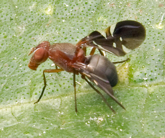 Picture-winged Fly - Delphinia picta