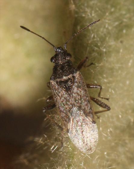 Bug on Great Mullein - Neortholomus