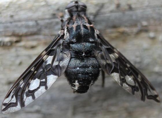 Bee fly? - Xenox tigrinus