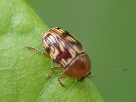 Beetle - Cryptocephalus badius