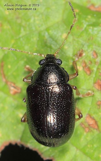 Chrysomeloidea - Rhabdopterus