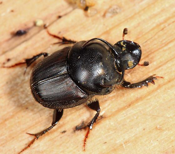 Bull Headed Dung Beetle - Onthophagus taurus - male
