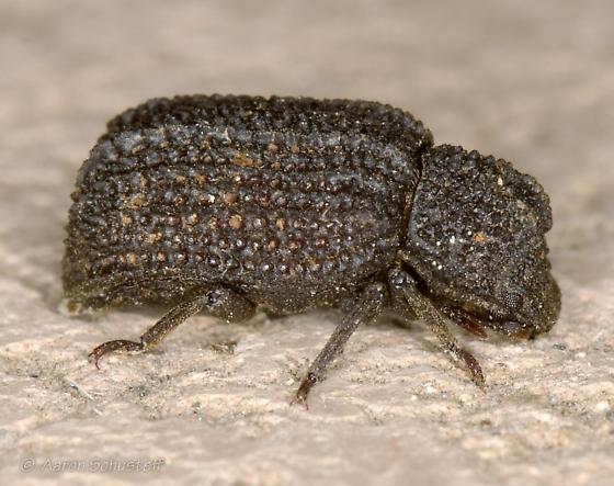 Bumpy-textured beetle - Megeleates sequoiarum