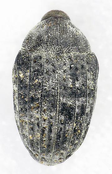 Weevil on milkweed flower - Rhyssomatus palmacollis
