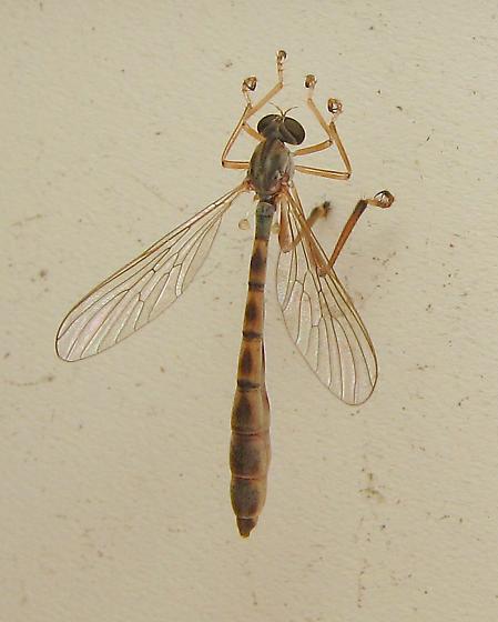 Robber Fly? - Leptogaster flavipes