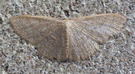 Geometridae: Pleuroprucha insularia? - Pleuroprucha insulsaria