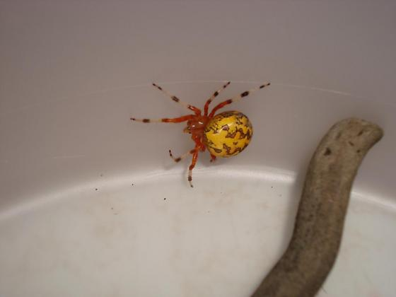 spider with orange body with yellow back and markings - Araneus marmoreus
