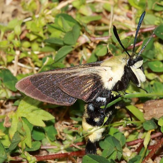 Sphinx Moth - Hemaris diffinis