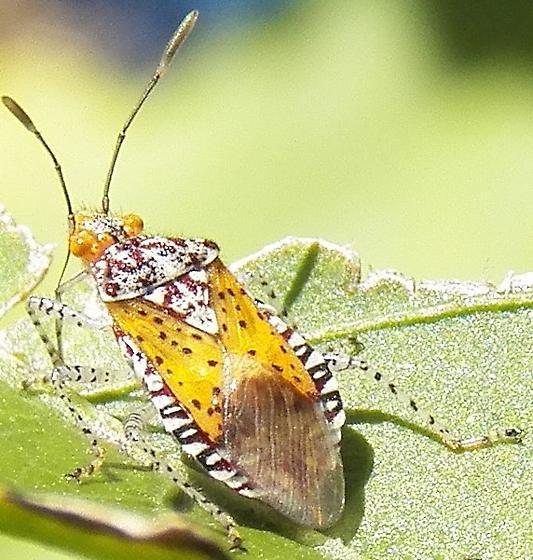 Polka dotted golden bug ? - Niesthrea louisianica