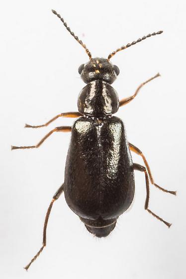 Beetle - Attalus frosti - female
