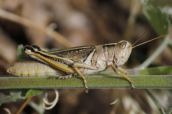 Large Grasshopper - Melanoplus bivittatus - female